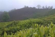 استان گیلان در تولید چای رتبه نخست کشور را دارد
