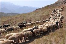 افزایش 4.3 درصدی تولید فراورده های دامی در خراسان شمالی