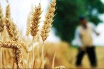 63 درصد مطالبات گندمکاران استان سمنان پرداخت شد