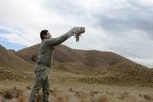 رهاسازی گونه پرنده 'شاه بوف ' در تالاب گندمان بروجن