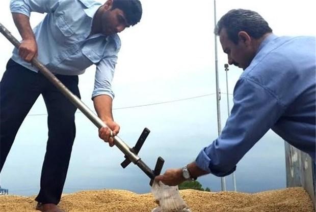 ارزش گندم خریداری شده از کشاورزان مازندران به یکهزار میلیارد ریال رسید