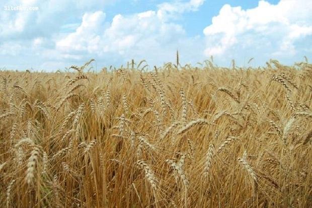 65 درصد مزارع کهگیلویه دچار خشکسالی شد
