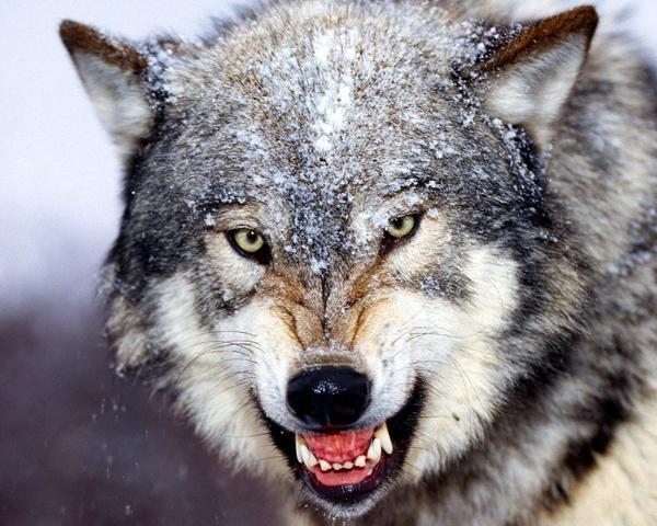 حمله گرگ به دامگاه گوسفندان در نطنز