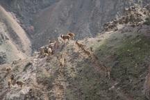 جمعیت کل و بز منطقه حفاظت شده خاییز افزایش یافت