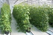 آذربایجان غربی 5.163 هزار تن تولید محصولات گلخانه ای دارد