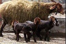 تولید ۷۰۰ راس گوسفند دوقلوزا در ایستگاه شیروان