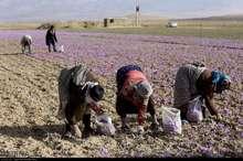 پیش بینی برداشت 896 تن گل زعفران در فاروج خراسان شمالی