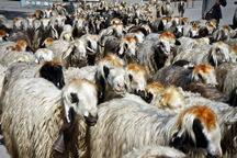 قاچاقچیان گوسفند درآذربایجان غربی 2.6میلیارد ریال جریمه شدند