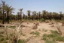 پاچوش نخیلات خرمشهر بر اثر شوری آب خسارت دیدند