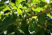 تولید نهال توت در گیلان 17 درصد افزایش دارد