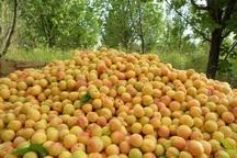 تولید میوه در کهگیلویه و بویراحمد 25 درصد افزایش یافت