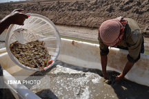 پیش بینی برداشت 700 تن میگو از مزارع پررورش میگو بندر مقام