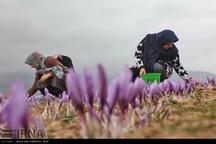 زعفران کاران گلستان وام اشتغال روستایی می گیرند