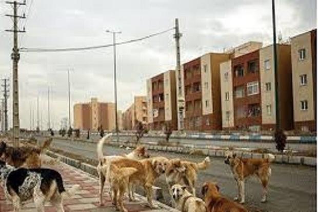 جولان سگ های ولگرد در اردبیل