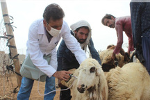 431 هزار راس دام در زنجان علیه تب برفکی واکسینه شدند