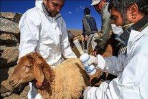 پنج میلیون راس دام سبک در آذربایجان شرقی واکسینه می شود