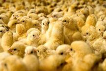 انجام 455 هزار قطعه جوجهریزی در مرغداریهای آبیک