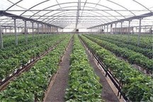 کشت گلخانه ای راهکاری مناسب برای افزایش تولید و استفاده بهینه از منابع آب و خاک