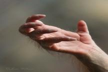 عکسی از دست اورانگوتان جنجال ساز شد