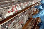 مشاهده بیماری آنفلوانزای فوق حاد پرندگان در شهرستان کلیبر  مرغداران برای واکسیناسیون طیور اقدام کنند