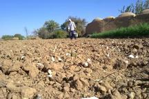 1800 هکتار از زمین های کشاورزی طارم زیر کشت سیر رفت
