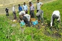برداشت 600 تن سیب زمینی در چرام برای نخستین بار
