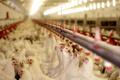 قیمت مرغ در کردستان گران نیست  تولید ماهانه ۶۷۰۰ تن مرغ در استان