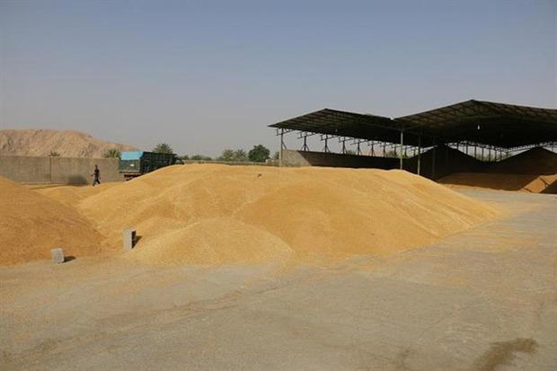 71 هزار تن گندم و کلزا توسط تعاون روستایی قزوین خریداری شد