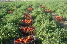 پیش بینی تولید 112 هزار تن گوجه فرنگی در خراسان شمالی