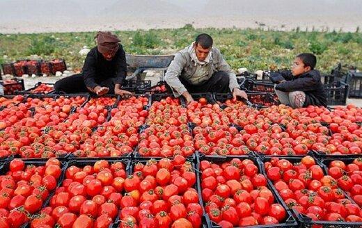 ۲۰۰ هکتار از زمینهای کشاورزی گچساران زیر کشت گوجه پاییزه رفته است