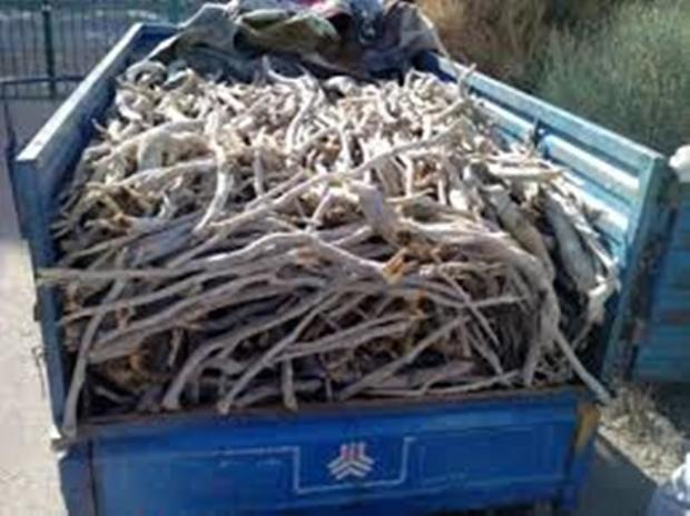 قاچاقچیان چوب تاغزارهای اشتهارد دستگیر شدند
