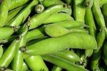 افزایش 10 درصدی تولید باقلا سبز در زمین های کشاورزی بشاگرد