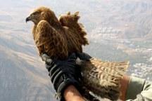 6 پرنده شکاری در زیستگاه های  گلپایگان رها شدند