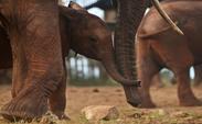 می دانستید حیوانات هم احساساتی اند؟! / موش ها تعارفی، فیل ها گریه می کنند و گوسفندان همدیگر را می شناسند!