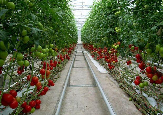 کشت گلخانه ای در داورزن افزایش یافت