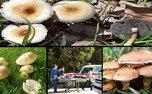 ۱۰۶ نفر در زنجان بر اثر مصرف قارچ سمی مسموم شدند