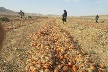 افزایش 10 درصدی قیمت خرید پیاز از کشاورزان خراسان شمالی