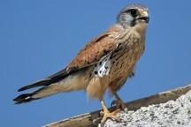 رهاسازی 2  پرنده شکاری در کاشان