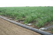 ۴۰۰ هکتار مزارع گندم یزد به آبیاری نواری تجهیز شد