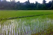 کشت برنج در باشت 60 درصد کاهش یافت