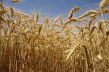 22 مرکز گندم کشاورزان قزوینی را خریداری می کنند