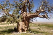 شماره ثبت درختان کهنسال قزوین ابلاغ شد