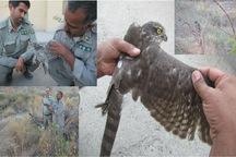 یک بهله قرقی در نیکشهر رهاسازی و به طبیعت بازگشت