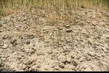 خشکسالی 150 میلیارد تومان به کشاورزی هیرمند خسارت وارد کرد