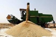 560 هزار تن گندم از کشاورزان آذربایجان شرقی خریداری شد