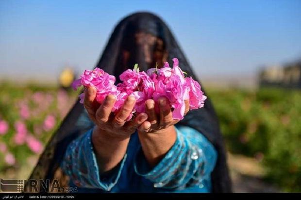 کهگیلویه و بویراحمد ظرفیت 12هزار  هکتار گل محمدی را دارد