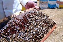 سالانه ۶ تن عسل در چرام تولید میشود