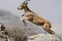 ارائه پیشنهاد ارتقای مناطق شکارممنوع خراسان شمالی به منطقه حفاظت شده