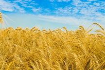 540 هزار تن گندم از کشاورزان کرمانشاه و ایلام خریداری شد