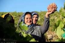همایش ملی انگور در بجنورد آغاز به کار کرد